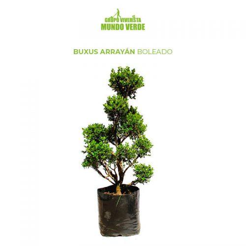Buxus Arrayán Boleado Boj