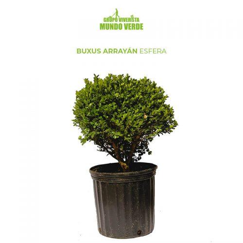 Boj Buxus Arrayán Esfera