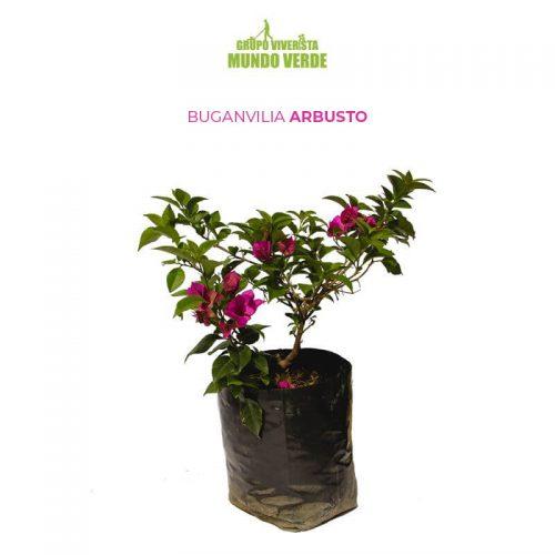 Buganvilia planta